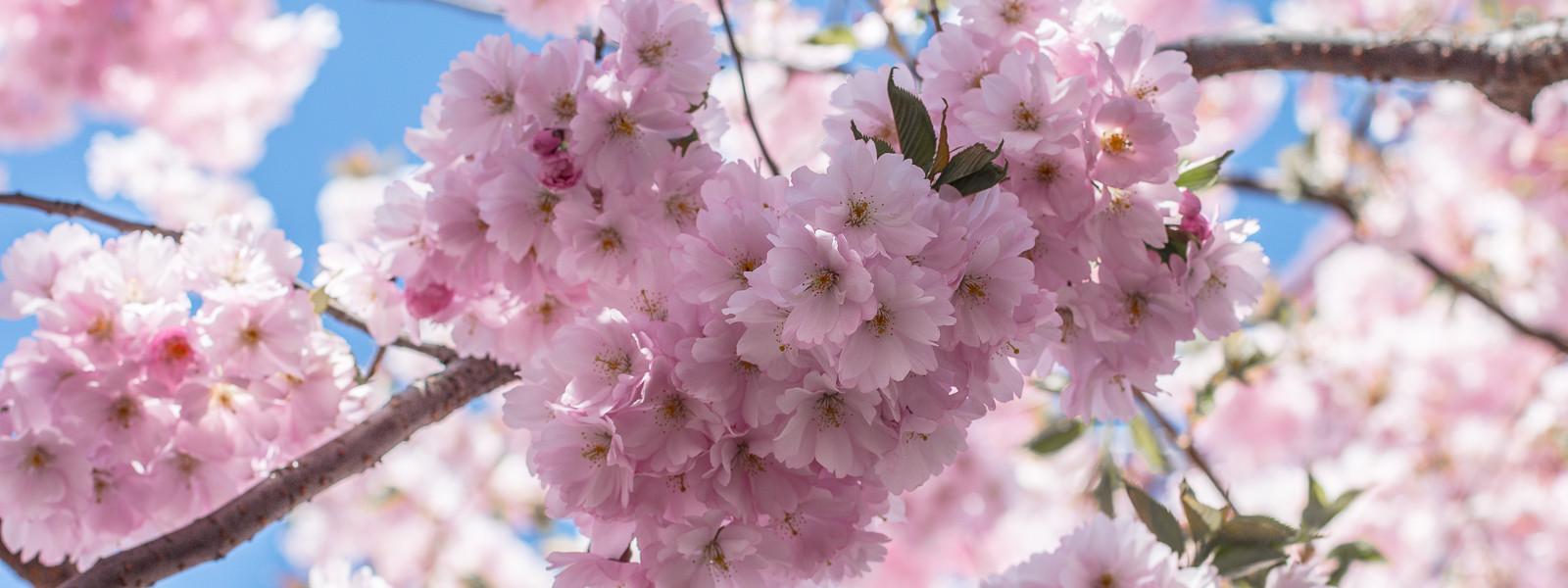 Äntligen körsbärsblom i Kungsträdgården