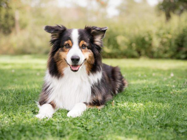 Hundporträtt av en aussie