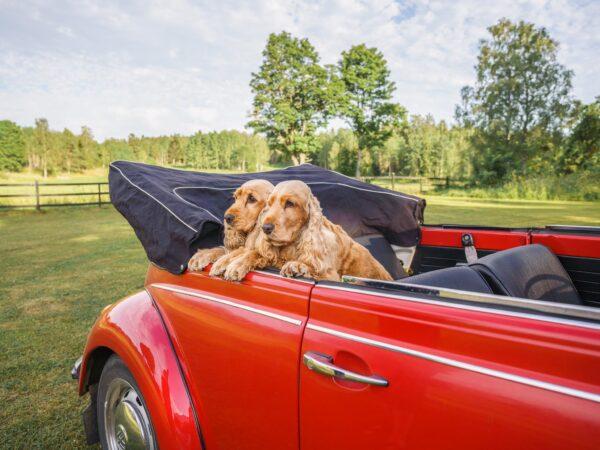Två cockerspaniels i en röd bil