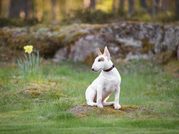 Hundporträtt pitbull