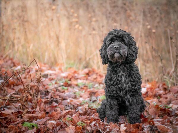 Hundporträtt Cockerpoo höstlöv